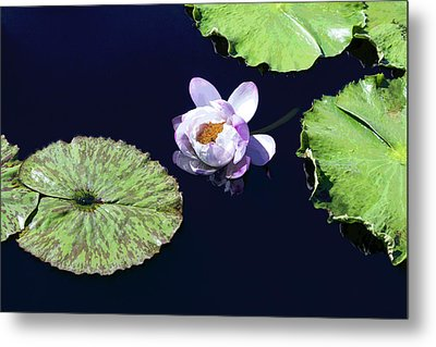 Lily Love II Metal Print by Suzanne Gaff