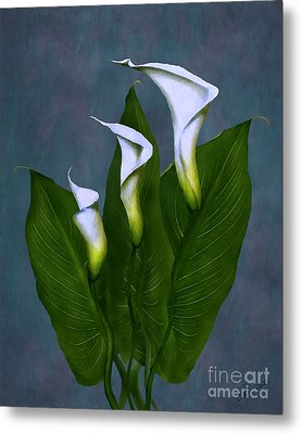 White Calla Lilies Metal Print by Peter Piatt