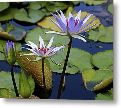Metal Print featuring the photograph Lily Trio by Judy Vincent