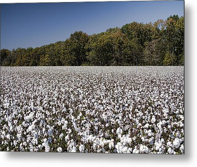 Limestone County Alabama Cotton Crop Metal Print
