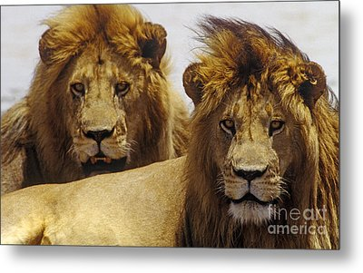 Lion Brothers - Serengeti Plains Metal Print by Craig Lovell