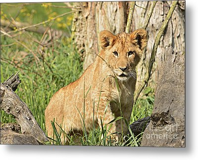 Lion Cub 2 Metal Print by Marv Vandehey