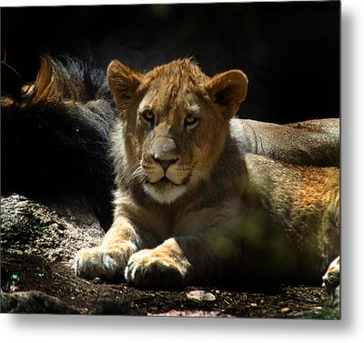 Lion Cub Metal Print by Anthony Jones