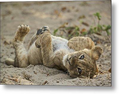 Lion Cub Metal Print by Johan Elzenga