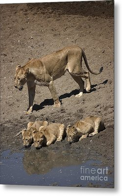 Lion Cubs And Mom Get A Drink Metal Print