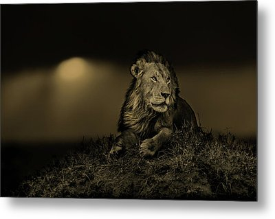 Lion Earless At Sunset In Masai Mara, Kenya Metal Print by Maggy Meyer