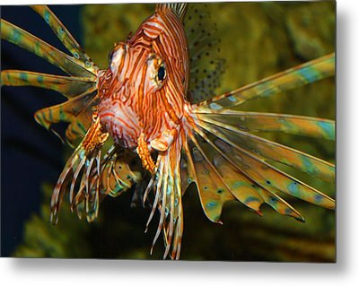 Lion Fish 2 Metal Print by Kathryn Meyer