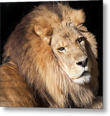 Lion Highlights Metal Print by Kenneth Albin