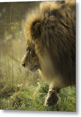 Lion In Soft Light Metal Print
