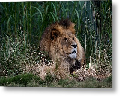 Lion In The Grass Metal Print