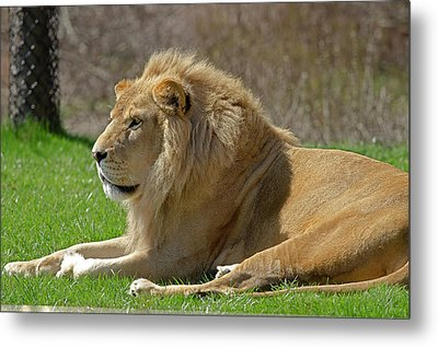 Metal Print featuring the photograph Lion by JT Lewis