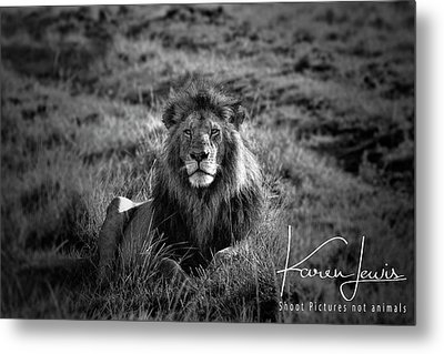 Metal Print featuring the photograph Lion King by Karen Lewis