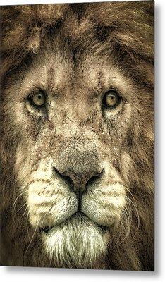 Lion Portrait Metal Print by Chris Boulton