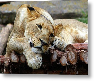Lion Resting Metal Print by Inspirational Photo Creations Audrey Woods