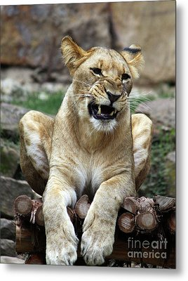 Lioness 2 Metal Print by Inspirational Photo Creations Audrey Woods