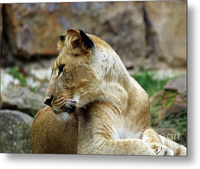 Lioness Metal Print by Inspirational Photo Creations Audrey Woods