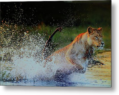 Lioness In Motion Metal Print
