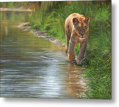 Lioness. Water's Edge Metal Print by David Stribbling