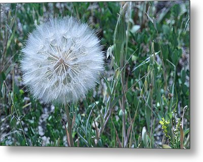 Metal Print featuring the photograph Lion's Tooth by Mary Mikawoz