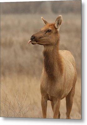 Lip Licking Tule Elk Merced County Ca Metal Print by Troy Montemayor