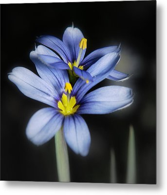 Metal Print featuring the photograph Little Blue Flowers by Karen Musick