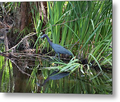 Metal Print featuring the photograph Little Blue Heron by Sandy Keeton