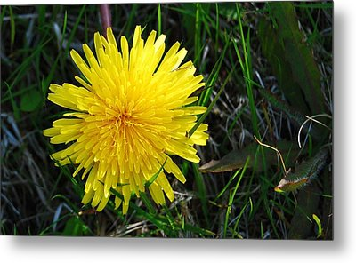 Metal Print featuring the photograph Little Burst Of Sunshine by Marilynne Bull