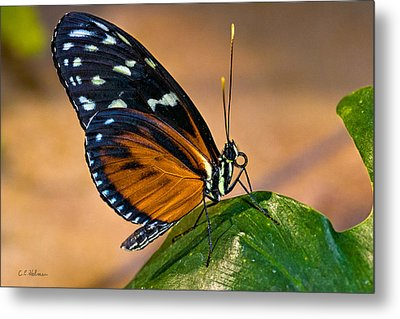 Little Butterfly Metal Print by Christopher Holmes