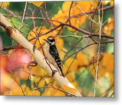 Little Downy In Autumn Metal Print by Donna Kennedy
