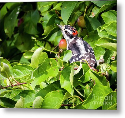 Metal Print featuring the photograph Little Downy Woodpecker  by Ricky L Jones