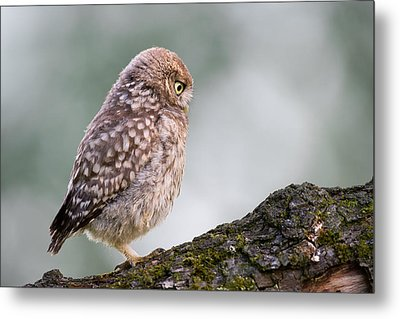 Little Owl Chick Practising Hunting Skills Metal Print