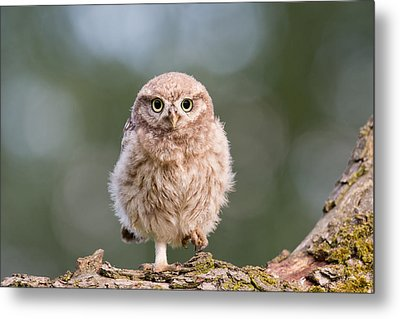 Little Owl Chick Metal Print by Roeselien Raimond