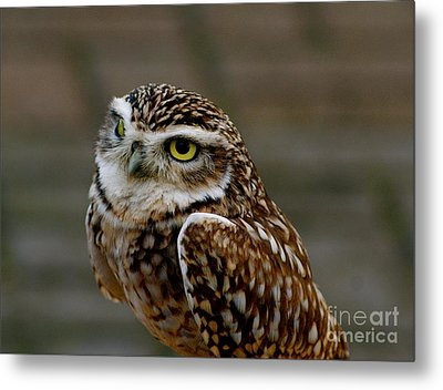 Metal Print featuring the photograph Little Owl by Louise Fahy