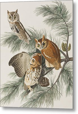 Little Screech Owl  Metal Print by John James Audubon