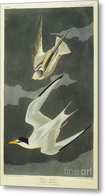 Little Tern Metal Print by John James Audubon