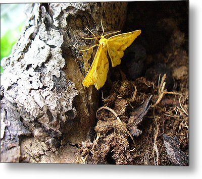 Little Yellow Moth Metal Print by Peggy King