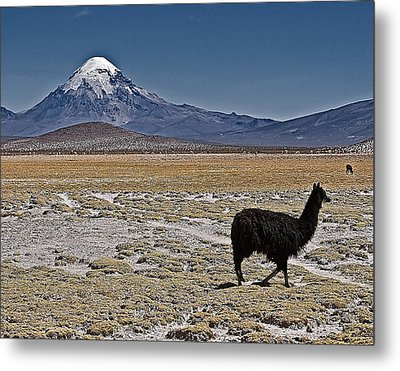 Metal Print featuring the photograph Llama And Sajama by Ron Dubin
