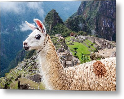 Llama At Machu Picchu Metal Print by Jess Kraft