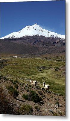 Llamas And Guallatiri Volcano Chile Metal Print by James Brunker