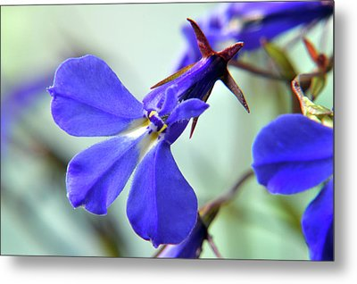 Metal Print featuring the photograph Lobelia Erinus by Terence Davis