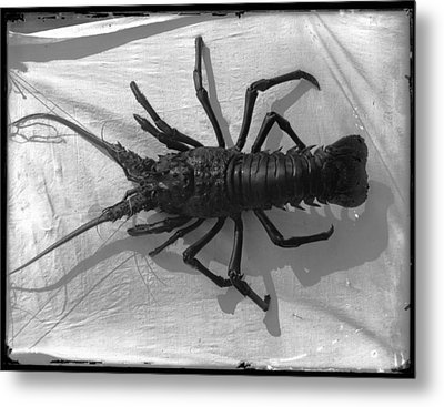 Lobster Black And White Photograph Metal Print by PhotographyAssociates