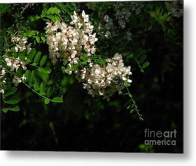 Locust Blossoms Metal Print by Deborah Johnson