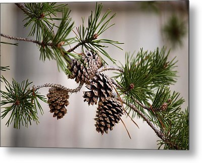 Lodgepole Pine Cones Metal Print by Karen Scovill