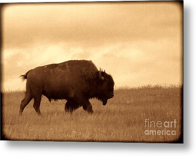 Lone Bison  Metal Print by American West Legend By Olivier Le Queinec