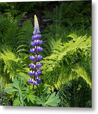 Lone Blue Lupine Metal Print by Allan Levin