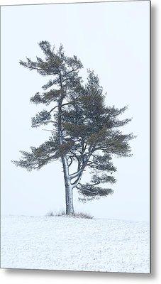Lone Pine In Snowstorm Metal Print by Barbara McMahon