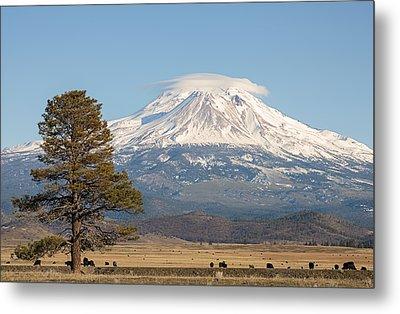 Lone Tree And Mount Shasta Metal Print by Loree Johnson
