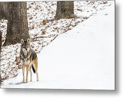 Lone Winter Coyote Metal Print by Andrea Silies