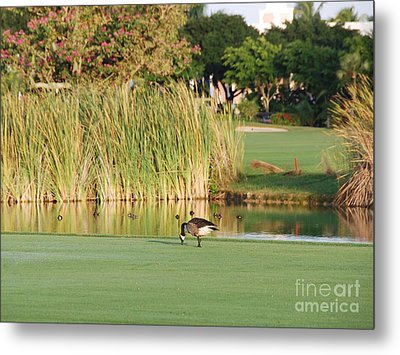 Lonely Goose On The Golf Course Metal Print