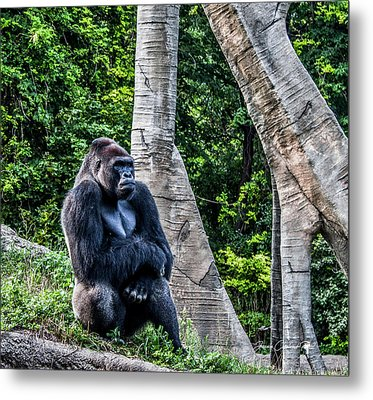 Metal Print featuring the photograph Lonely Gorilla by Joann Copeland-Paul